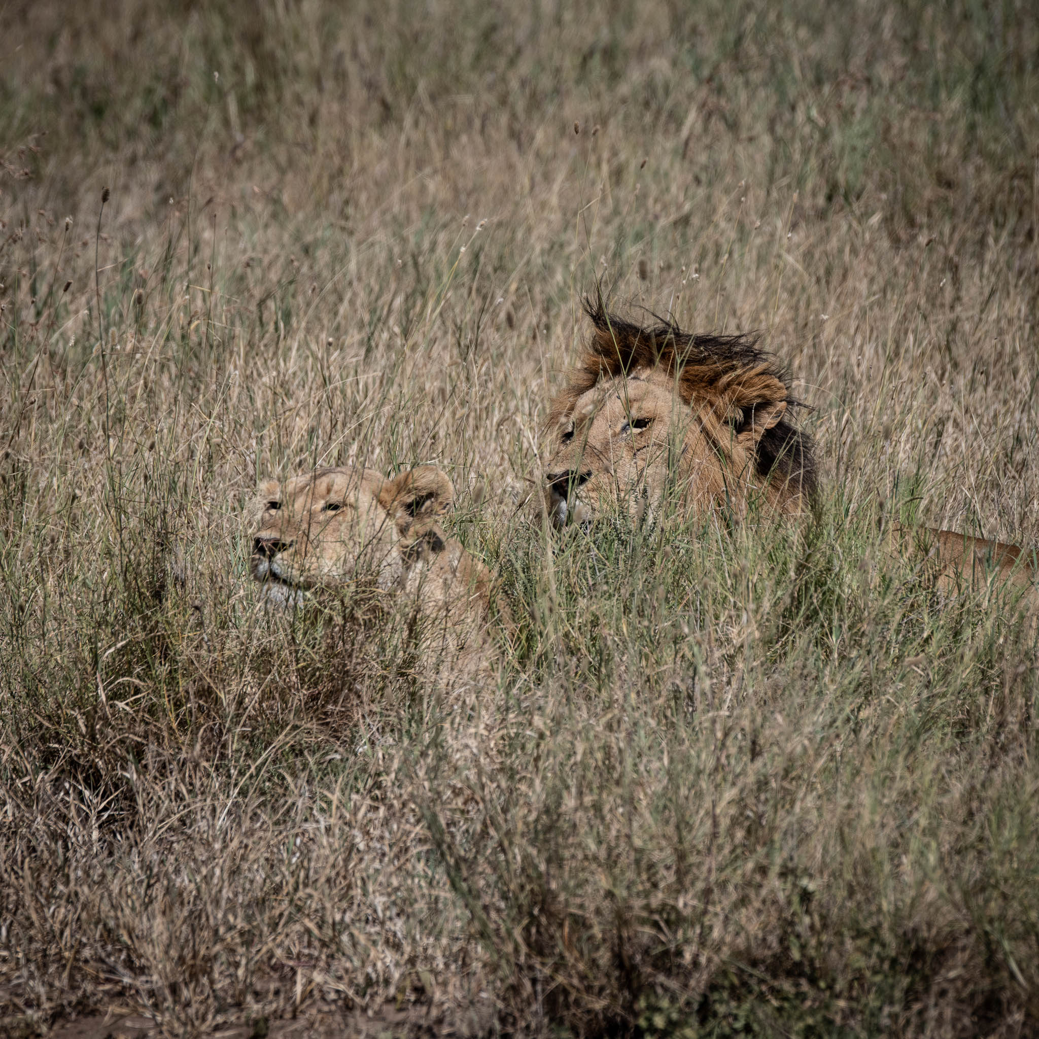 Mating Time in Serengeti