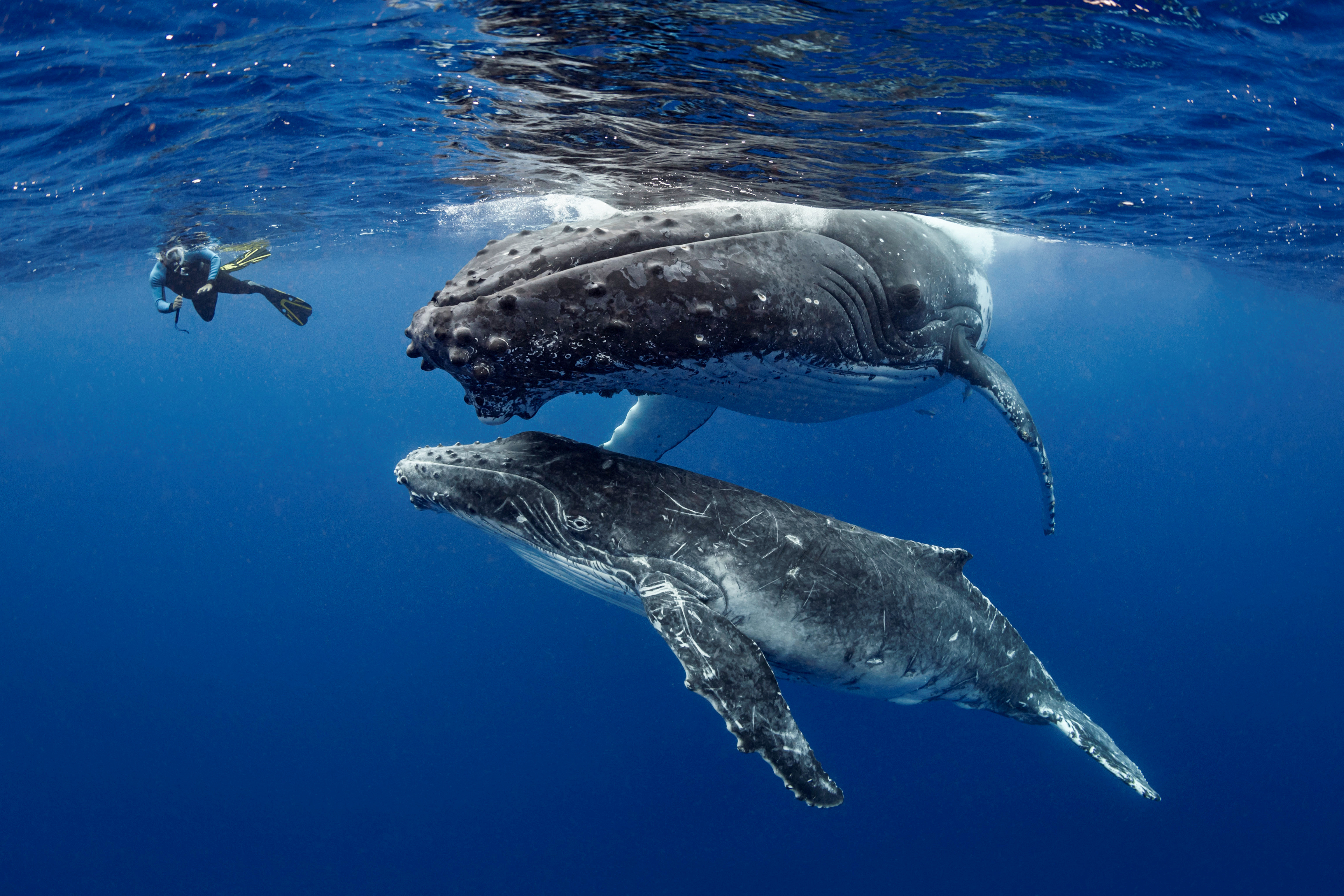 Tonga - Humpback Whales September 2020
